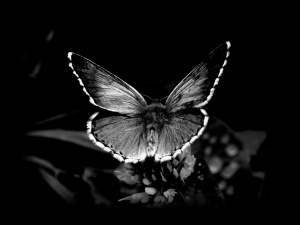 black__white_butterfly-1152x864